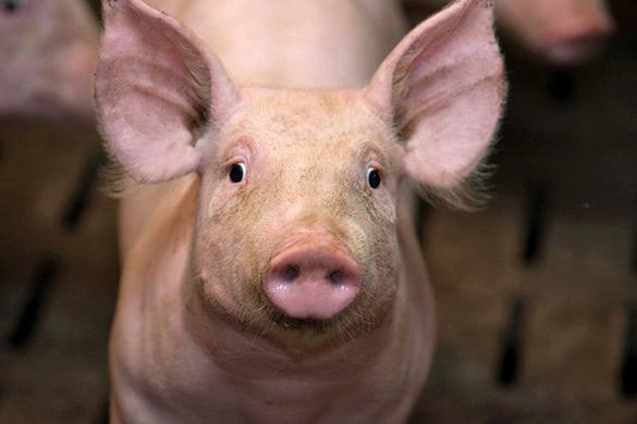 Jambon label rouge attention il y a label et label mes courses la loupe - Tete de cochon a colorier ...