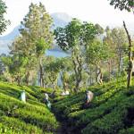 Tea_plantation,_Sri_Lanka