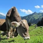 milk-cow-231438_960_720