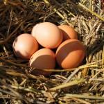 oeufs dans nid