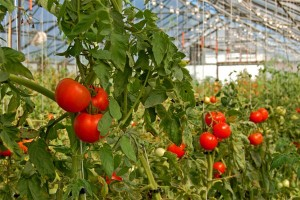 tomatoes_in_greenhouse