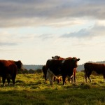 cattle-1149693_960_720